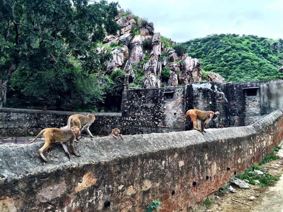 Viajes a Jaipur Templo de monos